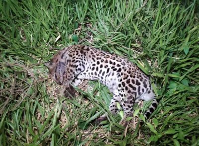 Felino era um macho e pesava entre 30 e 40 quilos. (Foto: Adilson Domingos)